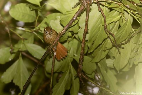 Nueva en FN? Ticotico ceja blanca - Anabacerthia amaurotis