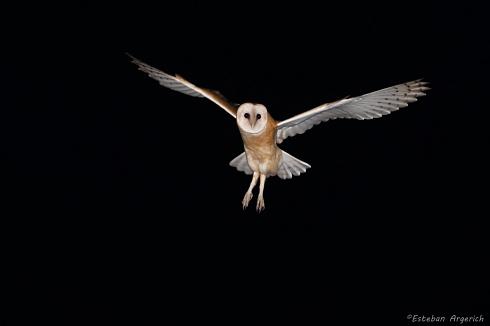 Lechuza de campanario - Tyto alba