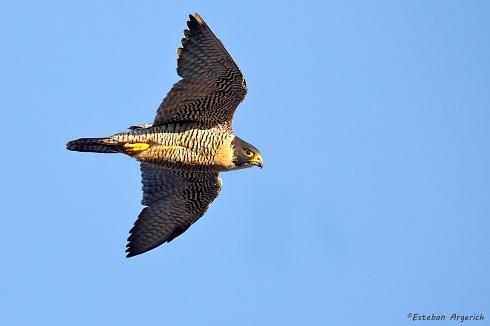 Halc�n peregrino - Falco peregrinus