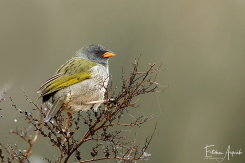 Verdón (Embernagra platensis; Great Pampa-finch)