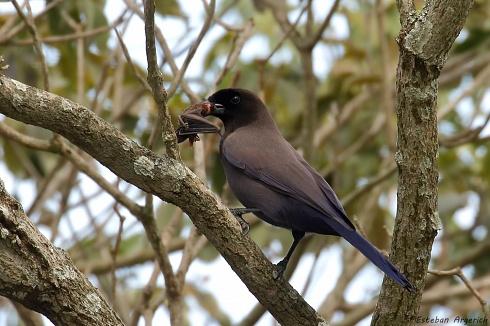Urraca Morada (Cyanocorax cyanomelas; Purplish Jay)