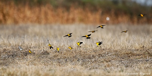 Tordo Amarillo (Xanthopsar flavus; Saffron-cowled Blackbird )+ Monjita Gris (Xolmis cinereus; Gray Monjita)