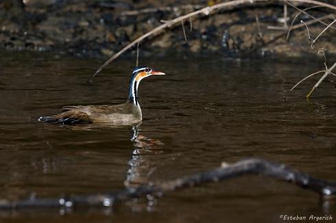 Ipequí - Heliornis fulica