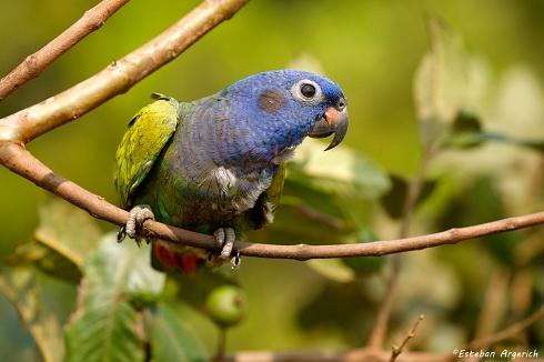Pionus menstruus (Loro Cabeciazul; Blue-headed Parrot)