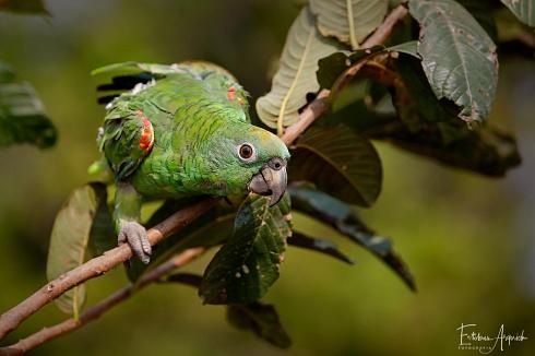Loro hablador - Amazona aestiva