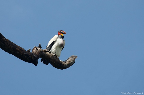 Jote Real (Sarcoramphus papa; King Vulture)