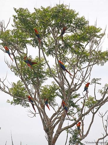 Arbolito de Navidad?  No...... Ara macao (Guacamayo Macao; Scarlet Macaw)