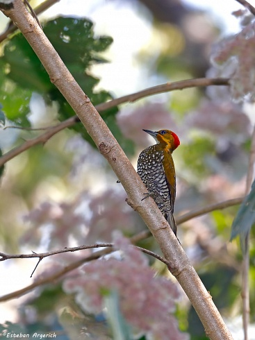 Piculus leucolaemus (Carpintero Garganta Blanca; White-throated Woodpecker)