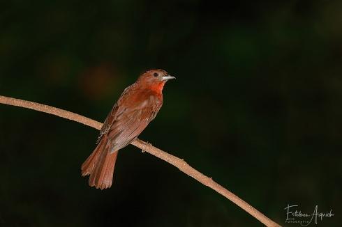 Fueguero morado - Habia rubica