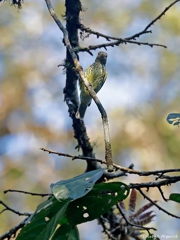 Primera en FN? Picoagudo (Oxyruncus cristatus; Sharpbill)