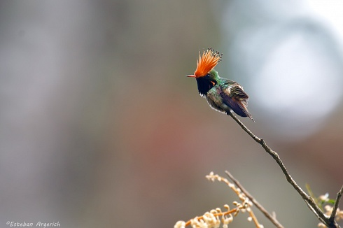 Rufous-crested Coquette (Lophornis delattrei; Picaflor Coqueta)
