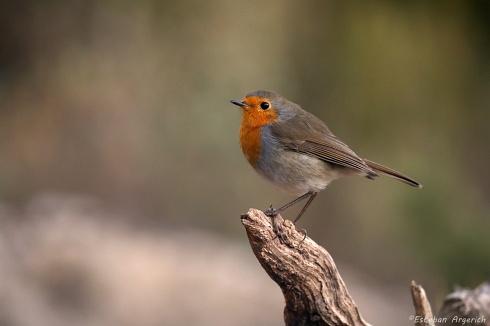Erithacus rubecula (Robin; European Robin)