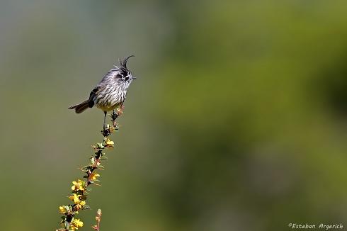 Cachudito pico negro - Anairetes parulus