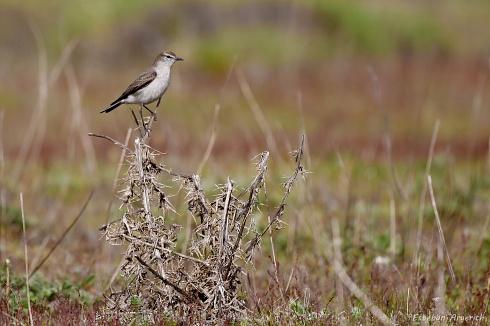 Dormilona ceja blanca - Muscisaxicola albilora