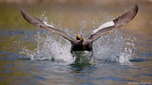 Quetro volador - Tachyeres patachonicus