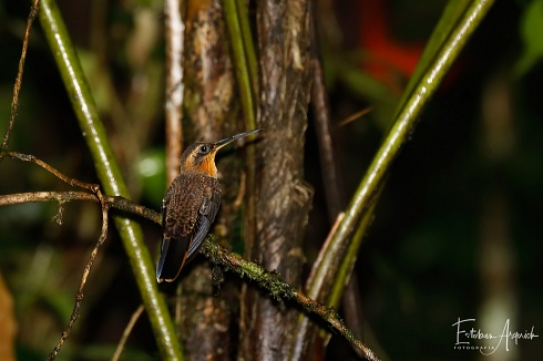 Beija-flor-rajado (Ramphodon naevius; Ermitaño Picosierra)