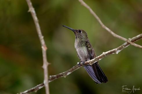 Picaflor Gris , Beija-flor-cinza , (Aphantochroa cirrochloris; Sombre Hummingbird)