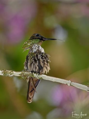 Primera en FN? Coqueta verde - Lophornis chalybeus