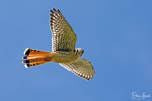 Que miras? -Halconcito Colorado (Falco sparverius; American Kestrel, Quiriquiri)