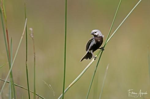 Capuchino Vientre Negro (Sporophila melanogaster), Black-bellied Seedeater, Caboclinho-de-barriga-preta