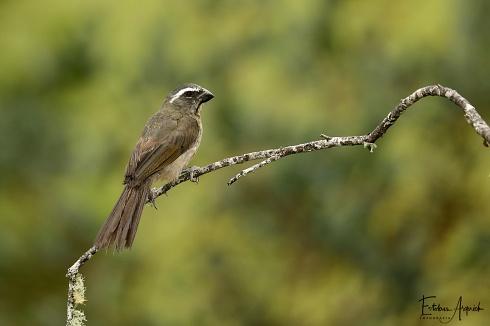 Pepitero Picudo (Saltator maxillosus)  Thick-billed Saltator Bico-grosso