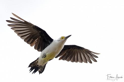 Carpintero Blanco, (Melanerpes candidus) , White Woodpecker, Pica-pau-branco
