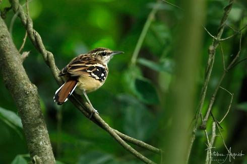 Batará Estriado (Myrmorchilus strigilatus; Stripe-backed Antbird)