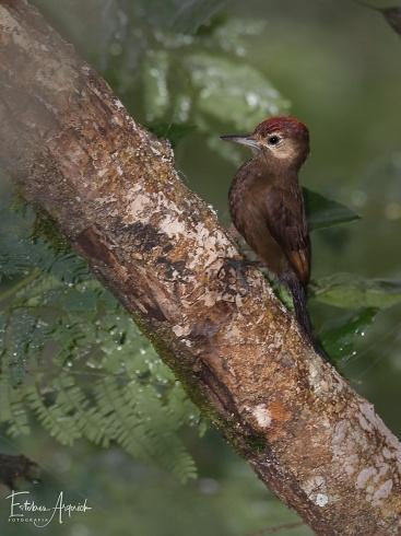 Carpintero Oliva Oscuro (Leuconotopicus fumigatus; Smoky-brown Woodpecker)