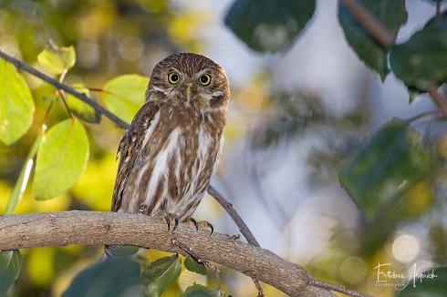Cabur� Chico (Glaucidium brasilianum) Ferruginous Pygmy-owl Cabur�