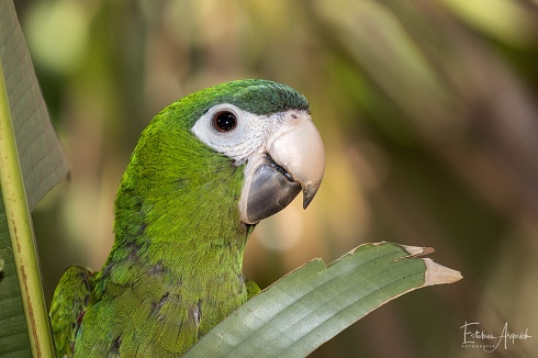 Parabachi Hombro Rojo,  Southern Red-shouldered Macaw, (Diopsittaca cumanensis)