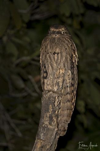 Urutaú coludo - Nyctibius aethereus