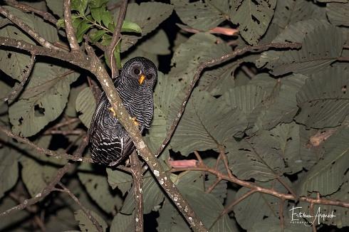 Lechuza Negra (Ciccaba huhula; Black-banded Owl)