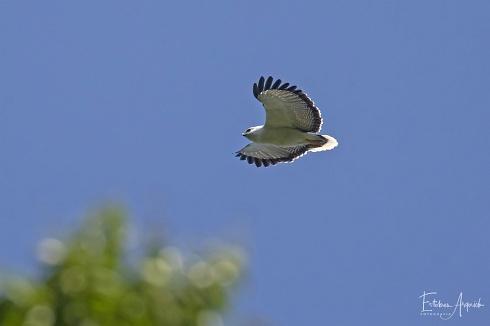 Gavil�n Blanco (Pseudastur albicollis; White Hawk)