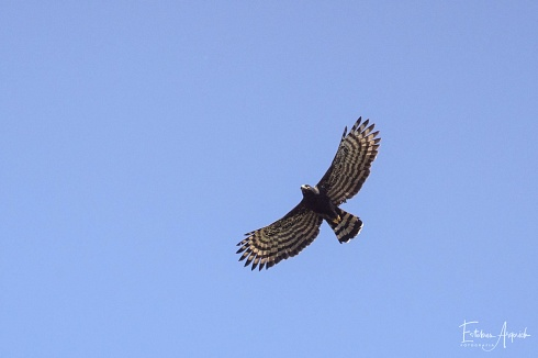 Águila crestuda negra - Spizaetus tyrannus