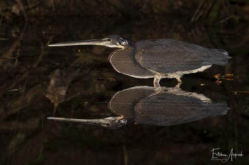 Agami Heron (Agamia agami; Garza Agam�, Gar�a-da-mata)