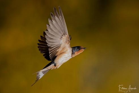 Golondrina Tijerita (Hirundo rustica; Barn Swallow))