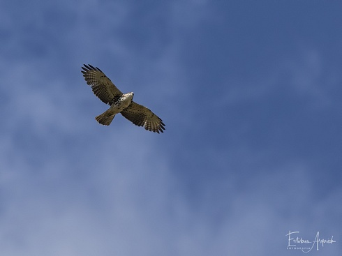 Aguilucho Andino (Buteo albigula; White-throated Hawk)