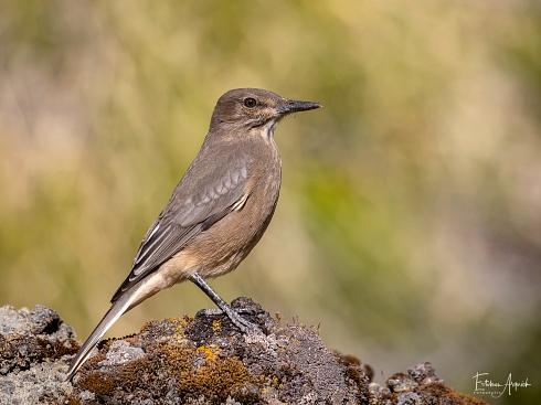 Gaucho serrano - Agriornis montanus