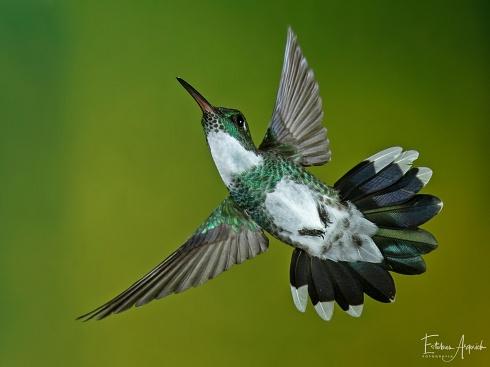 Picaflor Garganta Blanca (Leucochloris albicollis; White-throated Hummingbird)