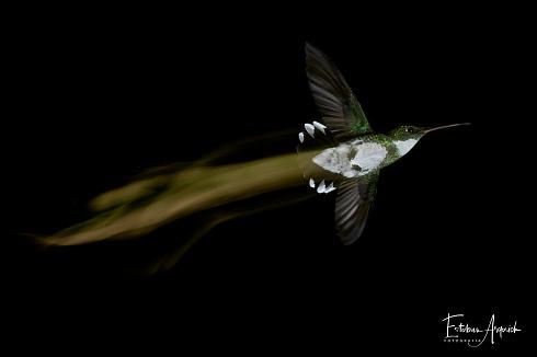 Picaflor garganta blanca - Leucochloris albicollis