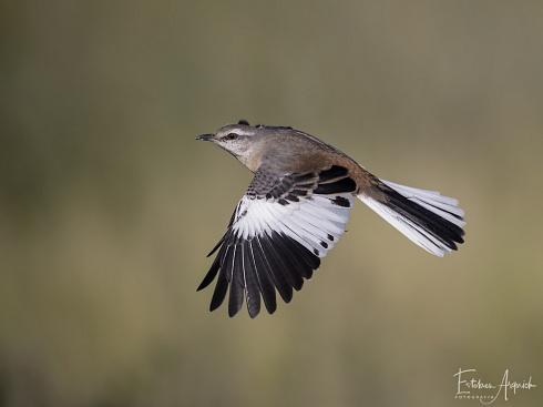 Calandria Real (Mimus triurus; White-banded Mockingbird, Calhandra-de-três-rabos )