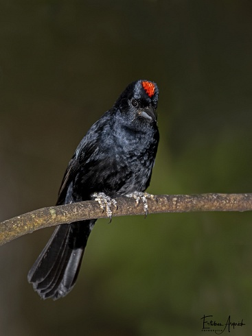 Frutero Coronado (Tachyphonus coronatus; Ruby-crowned Tanager) Tiê-preto