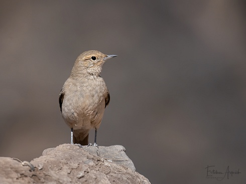 Caminera colorada - Geositta rufipennis