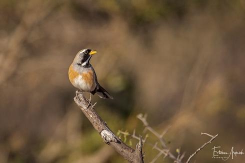 Pepitero Chico (Saltator multicolor) Many-colored Chaco Finch Bico-de-pimenta-chaquenho