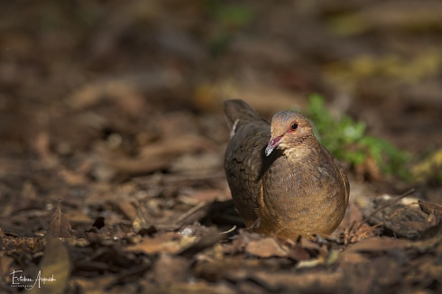 Paloma montera casta�a - Geotrygon montana