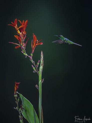 Picaflor corona viol�cea - Thalurania glaucopis