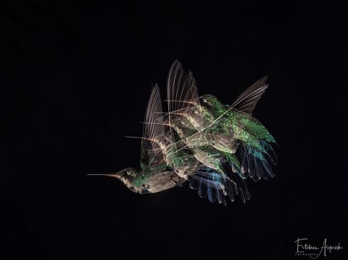 Picaflor com�n - Chlorostilbon lucidus