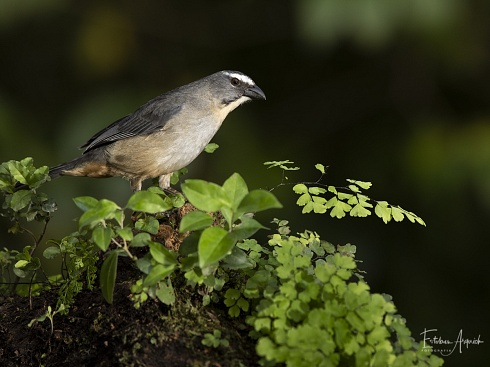 Pepitero Gris (Saltator coerulescens )  Amazonian Grey Saltator Sabi�-gong�