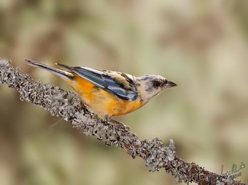 Leucismo en Naranjero Juvenil(Thraupis bonariensis)