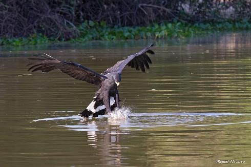 Aguila negra, �pescadora!